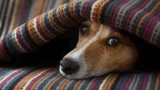 dog on sofa under a blanket feeling secure